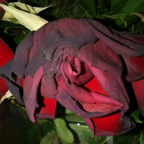 Dead Flower Roses Are Red Roses Rose🌹 Rose♥ Red Red Flower Flower Flower Head Flower Collection Dying Flowers Dying Flower Wilted Wilted Flower Wilted Rose Flower Life Nature Flower Photography Rose Petals Rose Collection Botany Petals🌸 Petals Wilting Flowers Flowers