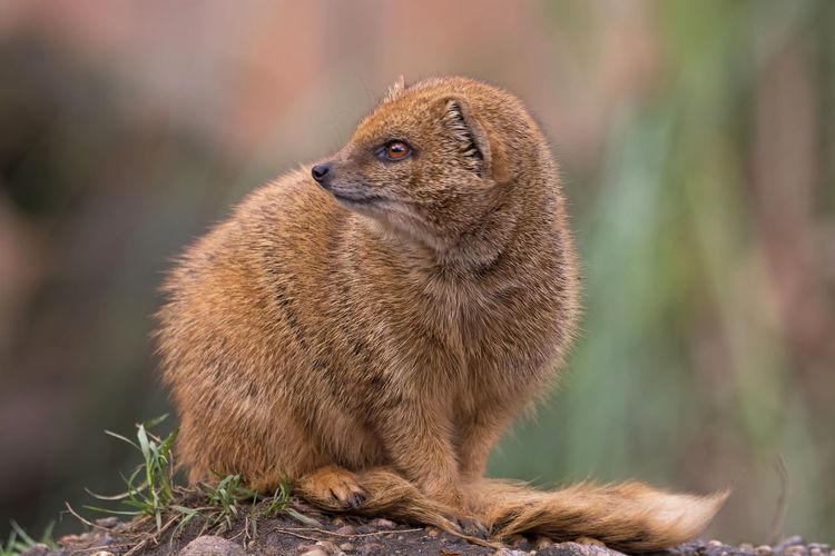 Mongoose Sitting On Rock