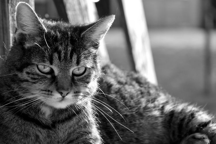 Loco (his name) BW_photography Cats Of EyeEm Animal Animal Body Part Animal Eye Animal Head  Animal Themes Cat Cat Lovers Close-up Day Domestic Domestic Animals Domestic Cat Feline Focus On Foreground Mammal No People One Animal Pets Portrait Relaxation Tabby Vertebrate Whisker
