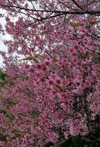 Sakura Beautiful Chiangmai Thailand Flowers, Nature And Beauty Flower Low Angle View Growth Branch Nature Pink Color Tree Beauty In Nature Backgrounds Full Frame No People Fragility Blossom Outdoors Freshness Springtime Day