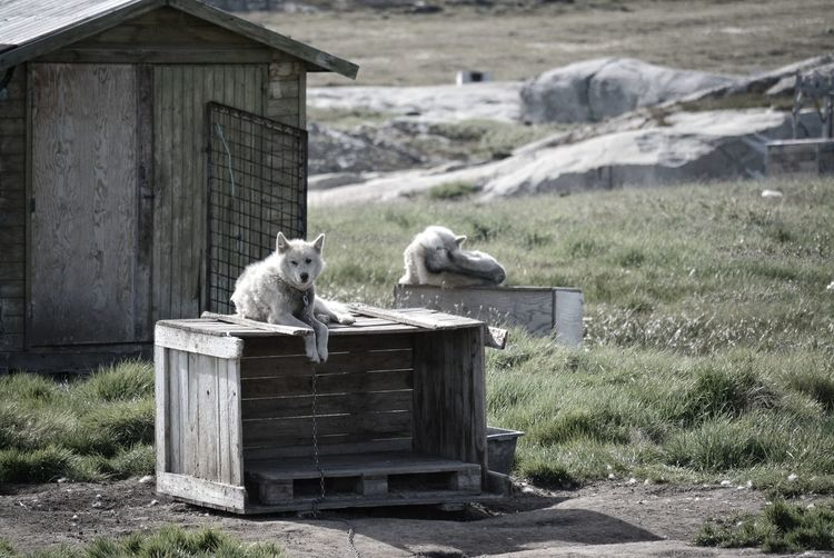 Greenland Huskies in Ilulissat, Greenland - chained greenlandic dog waiting for winter in summer months Canis Lupus Familiaris Borealis Greenland Greenlandic Dog Huskies Ilulissat Sledge Animal Themes Architecture Arctic Chained Day Dog Husky Inuit Mammal No People One Animal Outdoors Polar Climate Polaroid Relaxation Scene Sled Dog Summer Wood - Material