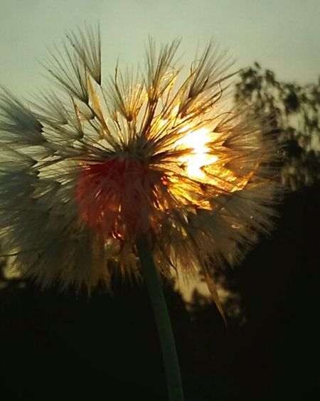 Flower Dandelion Make A Wish, Say A Prayer For Texas Fragility Flower Head Uncultivated Plant Close-up Nature Focus On Foreground Seed Wildflower Growth Freshness Beauty In Nature Outdoors Morning Light Warmth Of The Sun Essence Of Summer Showcase August EyeEm Gallery EyeEm Vision Eyeemphotography Getty Images Paint The Town Yellow
