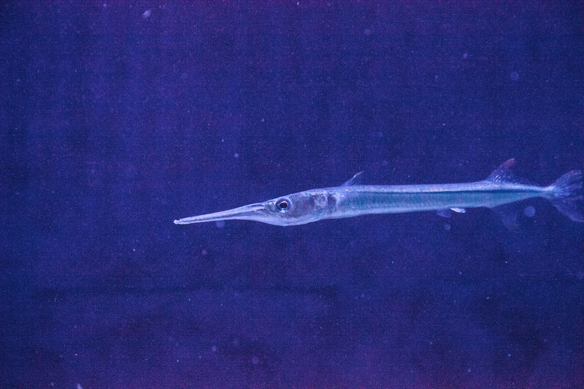 Atlantic needlefish Strongylura marina is a fish often found in marinas and other saltwater bodies where there is not a strong current. Atlantic Needlefish Sealife Strongylura Marina Swimming Animal Animal Themes Animal Wildlife Fish Marine Fish Needlefish No People Ocean Skinny Fish Thin Fish Vertebrate