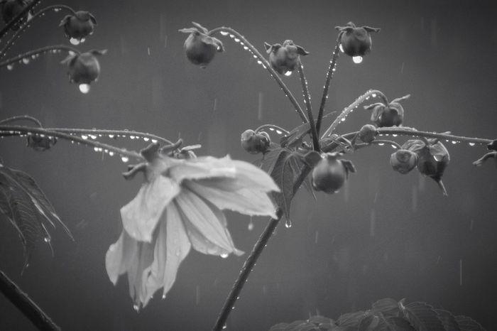 止まない雨が無いことくらい知っている。 Nature Beauty In Nature Fragility Monochrome Rain Raindrops Flower Tree Dahlia 必ず終わりは来る事も。