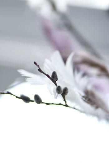 Happy Easter everyone! Feather up and eat a lot of eggs. Selective Focus Close-up Fragility Vulnerability  Beauty In Nature Growth No People Nature Freshness Day Outdoors Petal Botany White Color Springtime Macro Inflorescence Softness Purple White And Purple White Background Happy Easter Feather  Decoration Easter Easter Decoration Twig Twig And Feathers Purple Feathers White Feather Feathery Spring Spring Decoration Soft Light Soft Colors