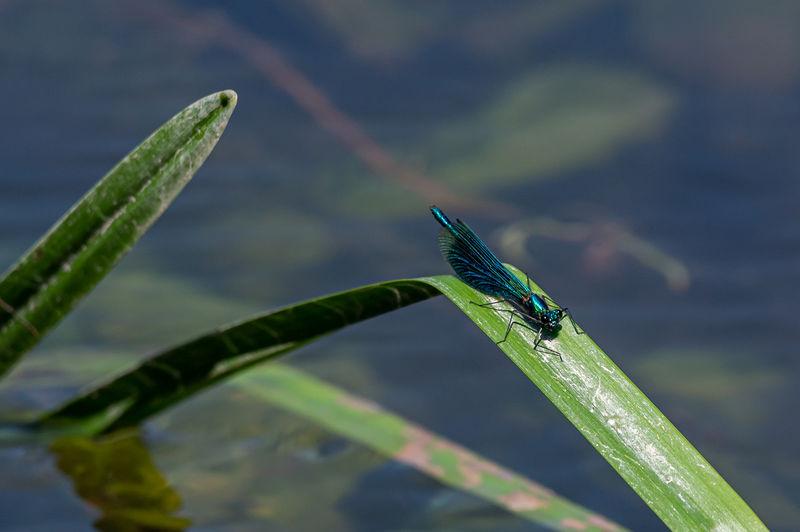 Male banded demoiselle damselfly, calopteryx splendens