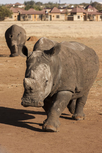 Africa Animal Themes Animals Animals In The Wild Beauty In Nature Day Endangered Animals Endangered Species EyeEm EyeEm Nature Lover Nature No People Outdoors Rhino Rhinos Sand Wildlife