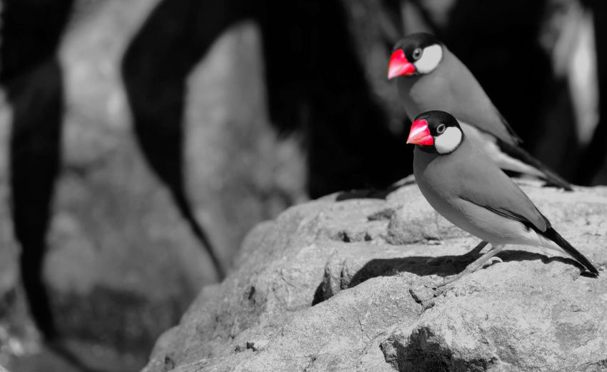 Java Sparrows (Padda oryzivora) black and white with red beaks and copy space Copy Space Red Animal Themes Animal Wildlife Animals In The Wild Beauty In Nature Bird Black And White Close Up Close-up Closeup Copyspace Day Java Sparrow Nature No People One Animal Outdoors Red Rock - Object