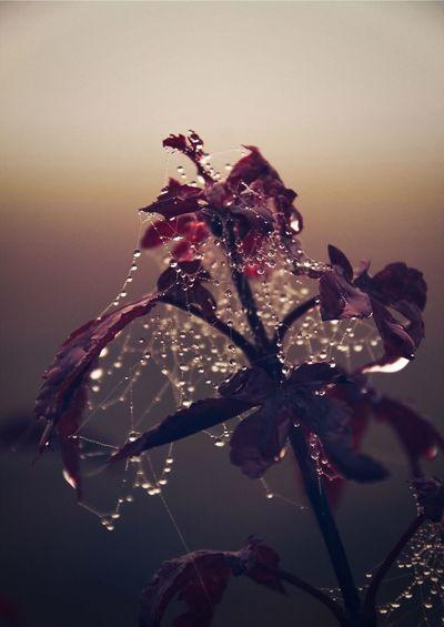 Spiderweb Plant