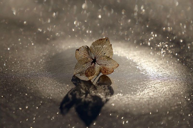 Close-Up Of Dry Hydrangea On Wet Footpath