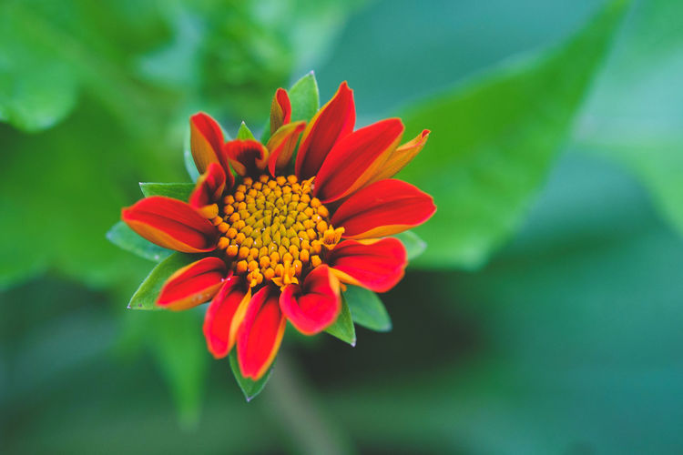 Beauty In Nature Blooming Close-up Flower Flower Head Focus On Foreground Fragility Freshness Growth Nature Petal Plant Pollen Red Shades Of Green  Shades Of Red