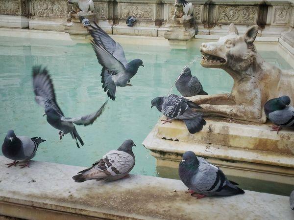 Italy❤️ Siena Piazza Del Campo Pigeons Statues ArtWork Marbledstone Water Birds Siena..❤