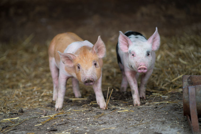 Farm Animals Animal Themes Baby Pigs Domestic Animals Group Of Animals Looking At Camera No People Pig Piglet Piglets Portrait Small Standing Two Two Animals Young Animal