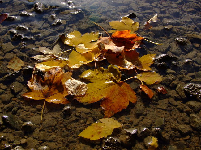 Autumn Beauty In Nature Change Close-up Day Dry Flower Fragility Leaf Leafes Maple Nature No People Outdoors Yellow