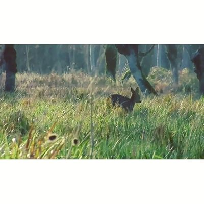 Make no noise, watch your step, open your eyes, here comes a roedeer. Into the wild #Maraispoitevin 2/6 Maraispoitevin