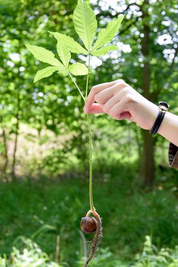 For the Future! Chestnut For The Future Freshness Growing Growth Leafs Seed Body Part Chestnut Tree Day Green Color Growth Hand Human Hand Leaf Lifestyles Nature One Person Outdoors Plant Plant A Tree Plant And Flowers Plant Part Tree