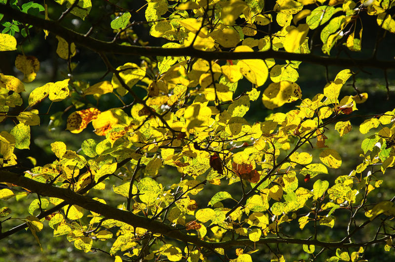 Low angle view of yellow leaves on tree