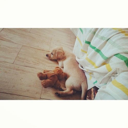 Rocco next to his teddy bear ?? Littledoggie NewPuppy Puppy Teddybear cute athome