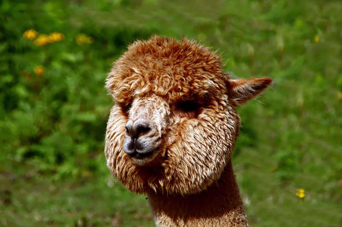 Portrait of an Alpaca Alpaca Animal Animal Portrrait Face Of Alpaca Farm Animal Close Up Mammal