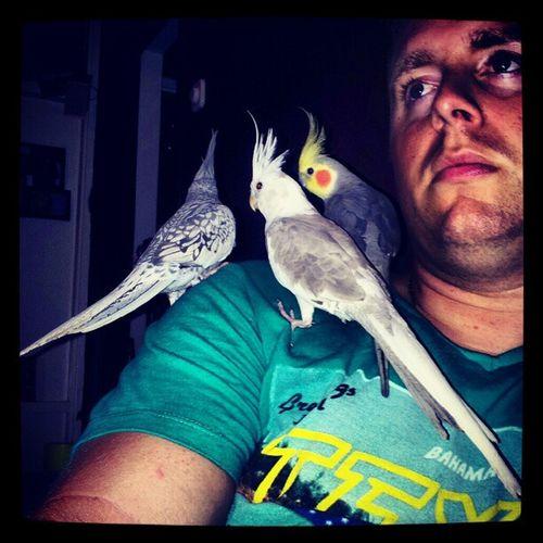 Three little birds Bird Cockatiel Valkparkiet