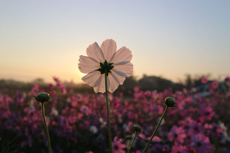 Close-up of cosmos flower against sky during sunset
