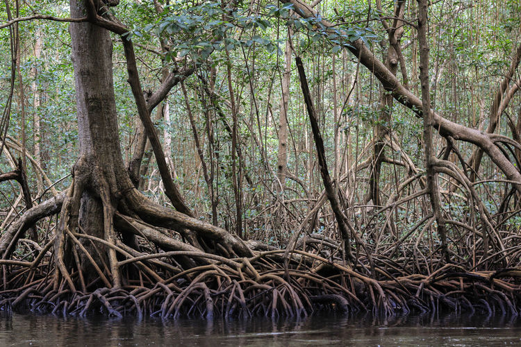 Caroni Swamp Swamp Trinidad And Tobago Trip Vacations Beauty In Nature Branch Carribean Forest Nature Outdoors Tree Water