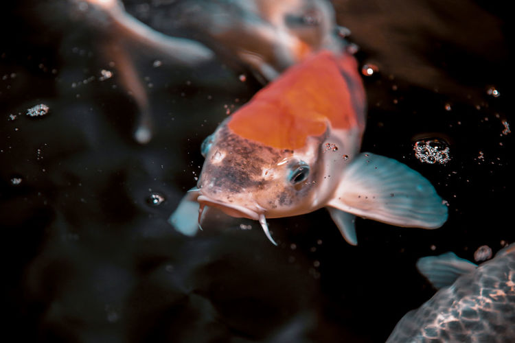 // something fishy is going on // Animal Animal Themes Animal Wildlife Animals In The Wild Close-up Fish Group Of Animals Marine Nature No People Orange Color Outdoors Sea Sea Life Swimming UnderSea Underwater Vertebrate Water
