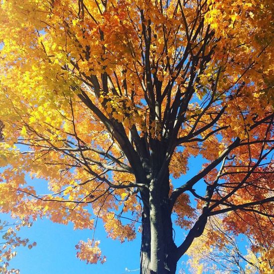 Throwback to Fall 2015🍁🍂 Tree Autumn Nature Branch Low Angle View Change Beauty In Nature Leaf No People Yellow Growth Outdoors Scenics Day Sky Close-up
