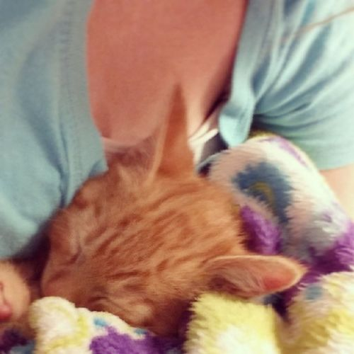 Poor Sumah had to get blood drawn and still has to get shots :( Sumah Gingerkitty