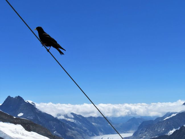 Above Alpine Chough Animal Themes Animals In The Wild Beauty In Nature Bird Cable Chough Clear Sky Cold Temperature Full Length Glacier Jungfrau Low Angle View Mountain Mountain Range Nature No People One Animal Outdoors Perching Snow Swiss Alps Switzerland Winter