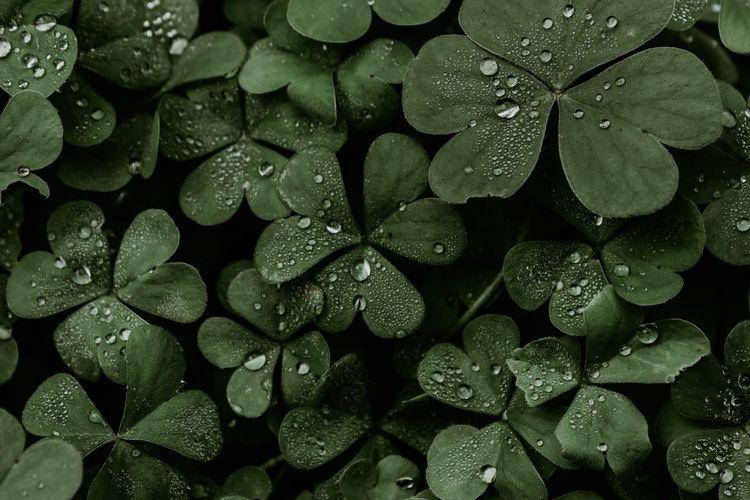 Garden clovers. clovers detail with water drops.