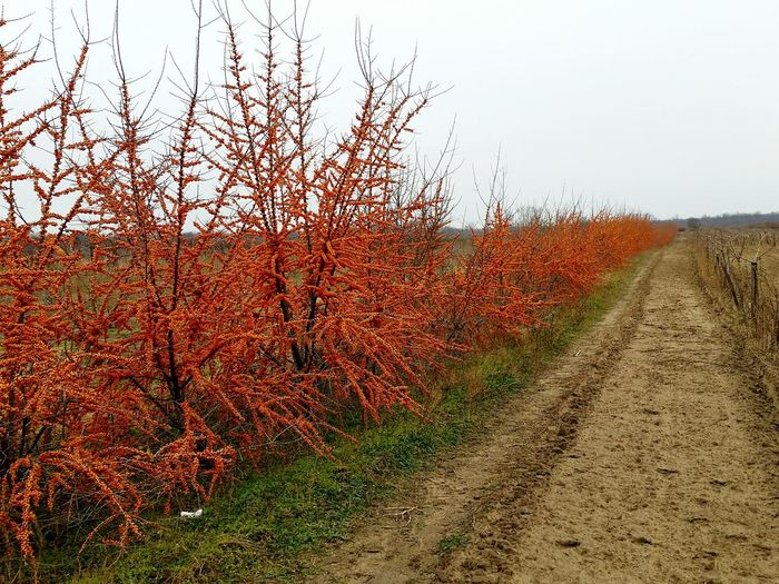 sanddorn sea_buckthorn