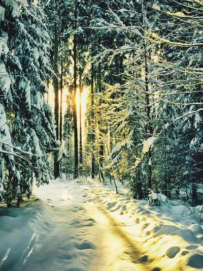 Sonnenlicht im Winter Wald Tiefschnee auf der Iberger Kugel