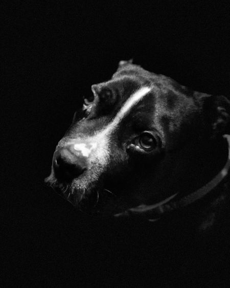 Portrait Mode play. Blackandwhite Blackandwhite Photography Dog Canine One Animal Domestic Pets Domestic Animals Mammal Black Background
