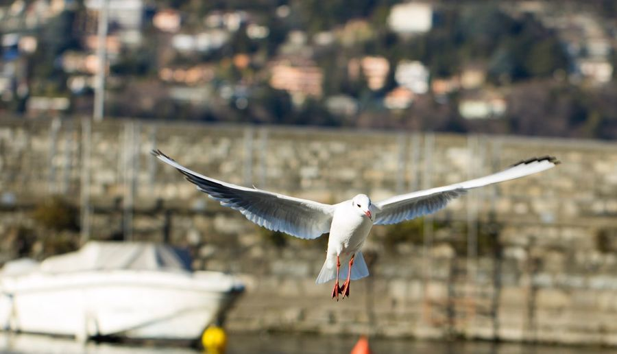 Adapted To The City Flying Focus On Foreground Bird Animal Wildlife One Animal Spread Wings Animals In The Wild Outdoors Animal Themes Day Close-up No People Birdhouse Water Bird Animals In The Wild Lake