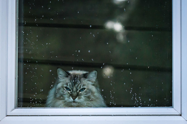 Animal Animal Themes Black Color Cat Close-up Day Domestic Animals Domestic Cat Feline Mammal Nature No People Pets Ragdoll Rain Drops Whisker Window Sill