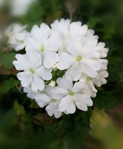 Flower White Color Beauty In Nature Flower Head Growth Nature No People Close-up Freshness Fragility Day White Purity White Clusters Of Flowers Freshness Taken With The Huawei P9