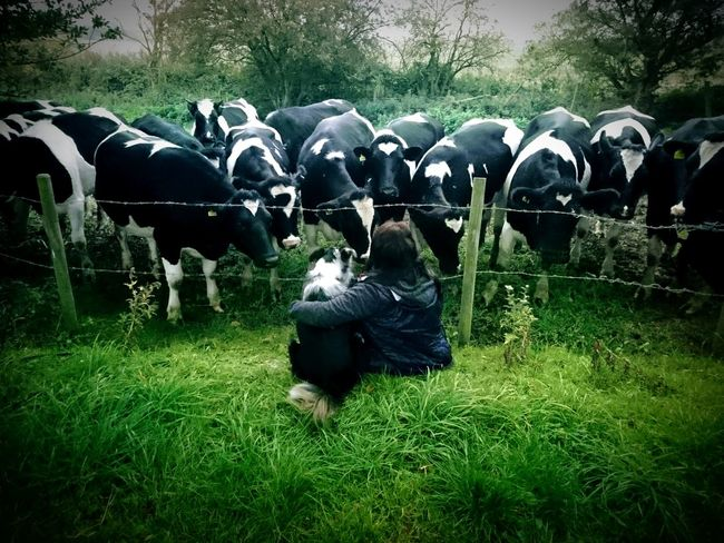Domestic Animals Livestock Animal Themes Agriculture Grass Nature Mammal Togetherness Tree Growth Outdoors Day Intruiging Barbed Wire Field Cows Animal Meets Human Border Collie Obedience Interaction Ambiguity Formation Perfect Timing Farming Farm Life