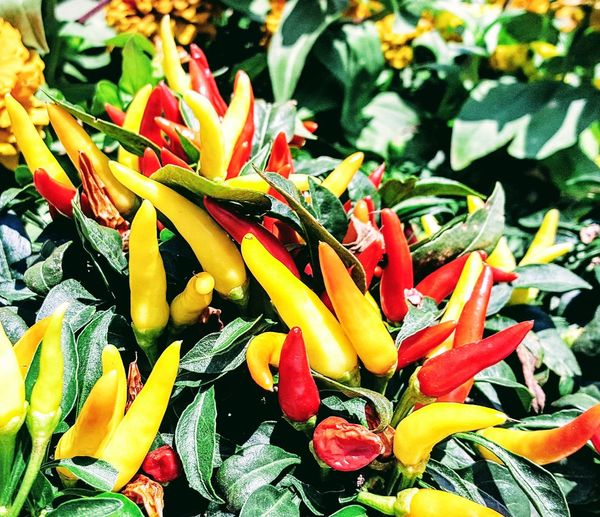 I lLove Me Some Hot Peppers Freshness Plant Close-up Beauty In Nature Pepper Peppers Pepper - Vegetable Hot Peppers Plants Garden Garden Photography The Week On EyeEm Paint The Town Yellow