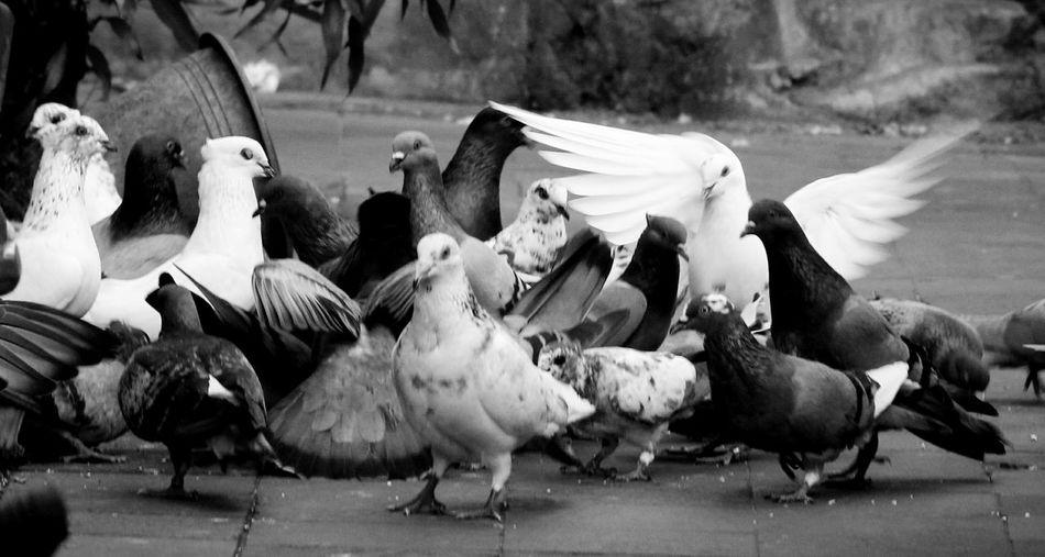 Bird Flock Of Birds Eating Animal Themes Livestock