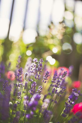 Bokehlicious Bokeh Bokeh Photography Colorful Flower Flowerporn Flowers Garden Gerbera Gerbera Flower Growth Home Garden Plants Nature Rosé Swirly Swirly Bokeh Tulip Wild Flowers