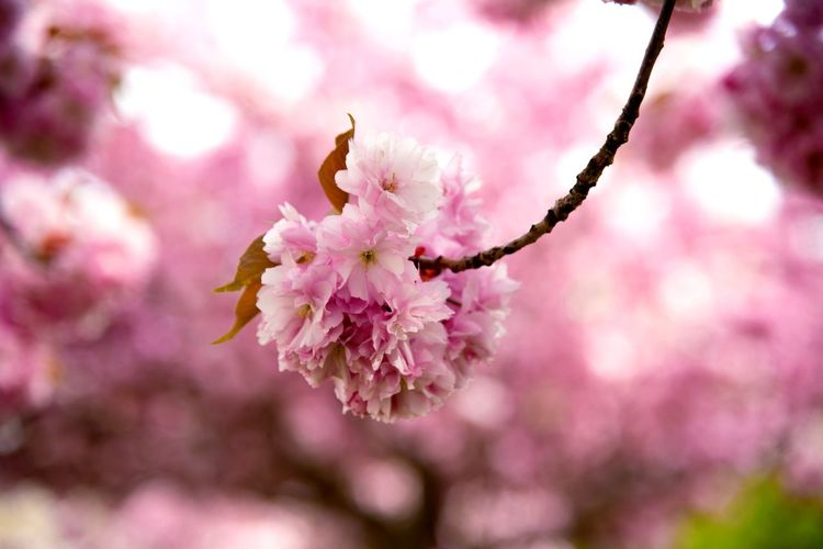 Romance Japan Cherry Blossoms Spring Pink Color Flowering Plant Flower Fragility Plant Beauty In Nature Vulnerability  Freshness Blossom Close-up Growth Tree Springtime