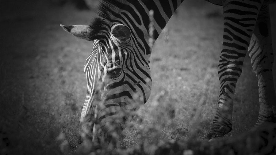 View of zebras on field