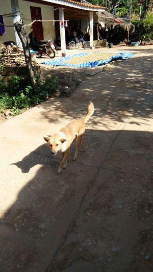 Dog Outdoors Day Thailand🇹🇭 Mae Salong Chiang Rai, Thailand Trail Running MST2017 Rural Scene