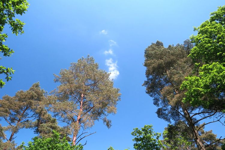 Springtime Branches Branches And Sky Bluesky Norfolk Thetford Thetford Forest Tree Clear Sky Blue Branch Forest Pine Tree Tree Area Pinaceae Sunny Leaf Treetop Plant Life Tree Canopy  Pine Woodland Growing Deciduous Tree Pine Wood Evergreen Tree Coniferous Tree Spruce Tree