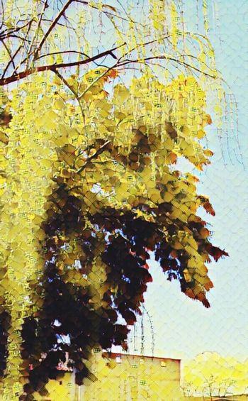 Yellow una mimosa..artistica..