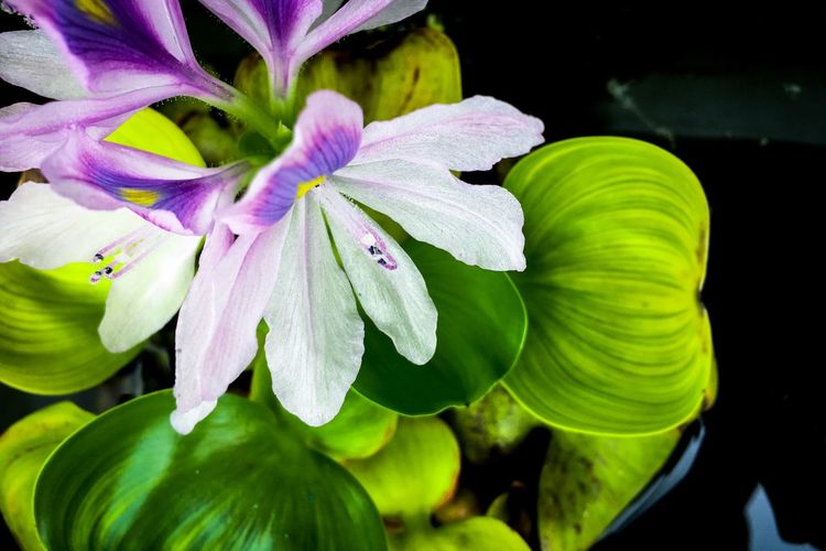 Leaf Beauty In Nature Growth Nature Petal Fragility Green Color Freshness Flower Plant Close-up No People Flower Head Outdoors Day Blooming Water Hyacinth