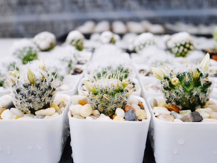 Close-up of cactus on flower pots on table