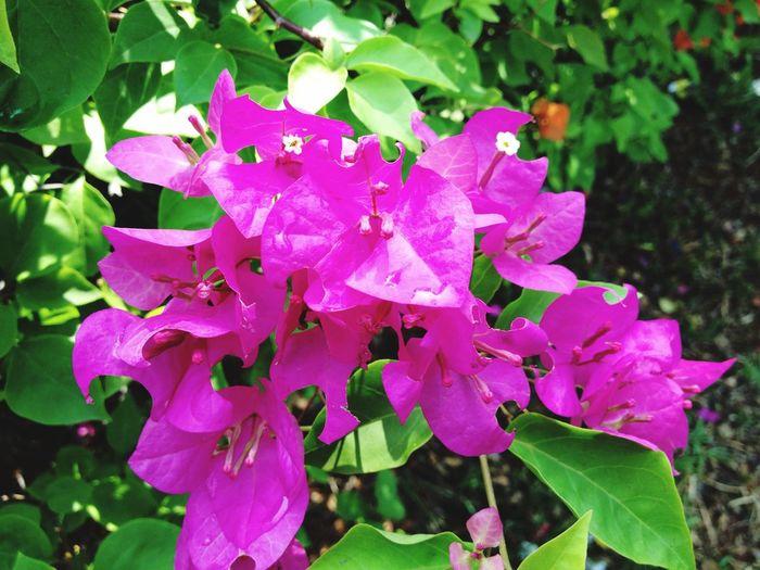 Pink Flower Bunga Kertas at Park Streetphotography