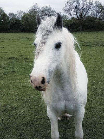 Close-up of white horse on field